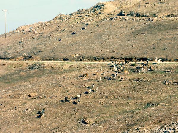 Ανεξέλεγκτη βόσκηση στην περιοχή Γίδες, αμέσως μετά την φωτιά του 2013 (Πηγή: Ηλίας Τζηρίτης, WWF Ελλάς).