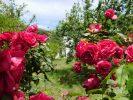 rosesAndros80