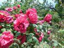 rosesAndros9