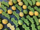 lemonkourtesi