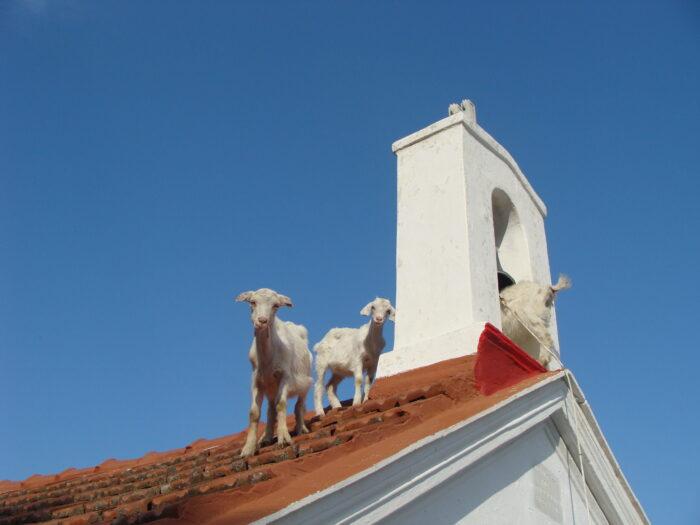 Απογραφή για αιγοπρόβατα και χοίρους